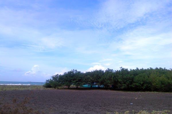 hutan di pantai trisik